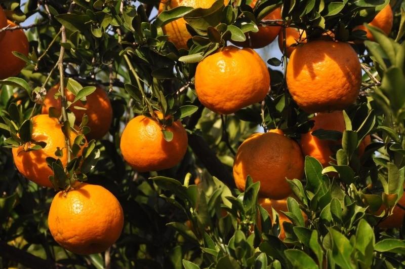 bergamota-sabor-de-extinçao
