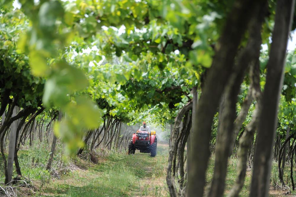 Vinícola tem vinhedos espalhados por diversas regiões do estado. Foto: Divulgação