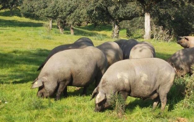 Pata Negra é produzido com a carne do porco ibérico.