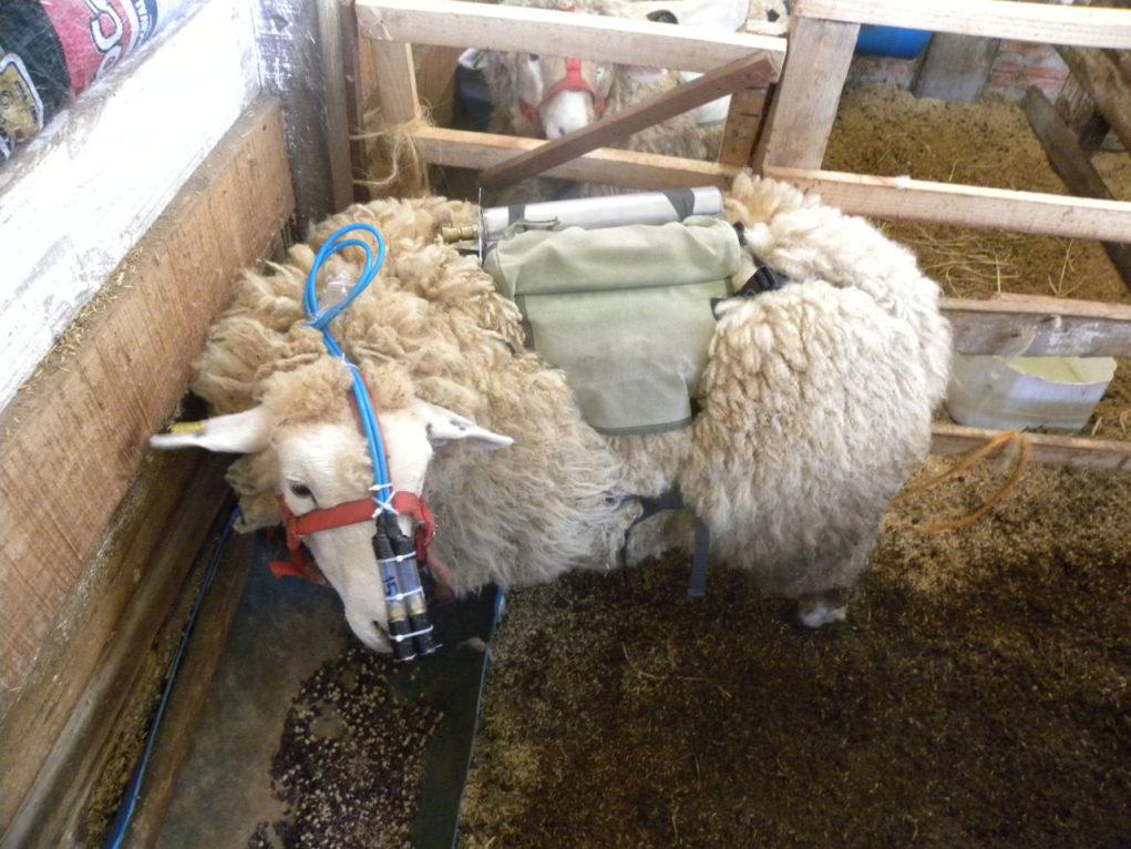 pesquisa-ovinos-guatambu