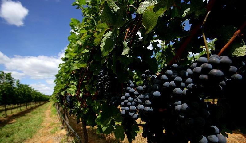 uva vinhos do sertão