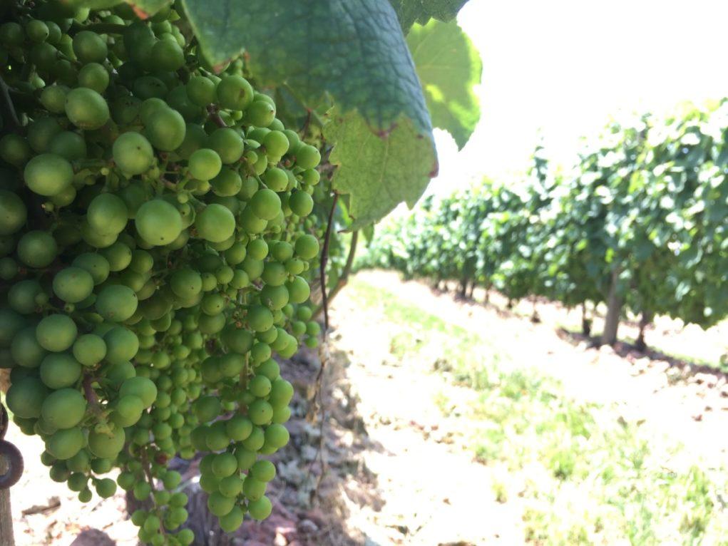 Rota de vinhos uruguaios