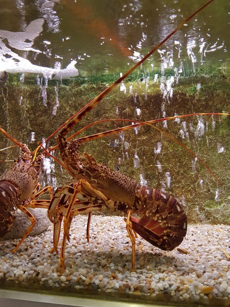 lagosta no aquário