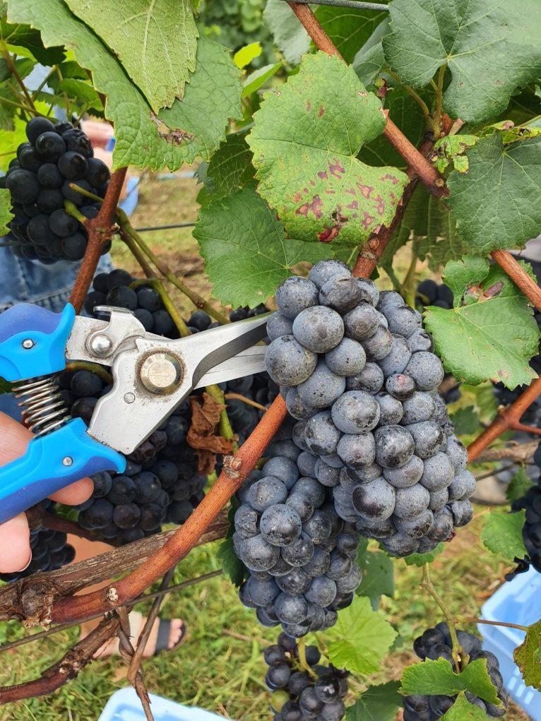 colheita de uvas vinicola luiz argenta