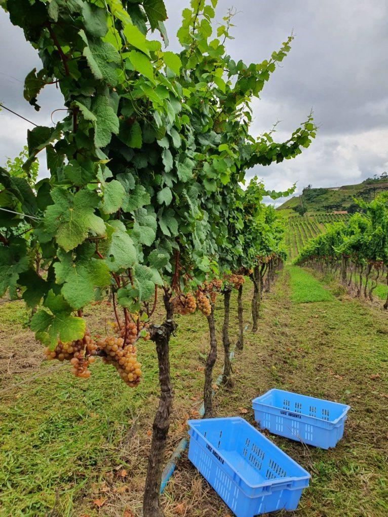vinhedos vinícola luiz argenta