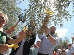 colheita oliveira rio grande do sul