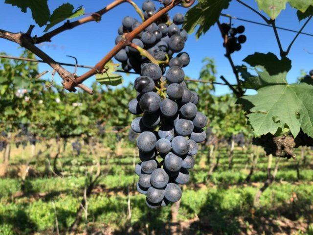 cacho de uva safra 2020